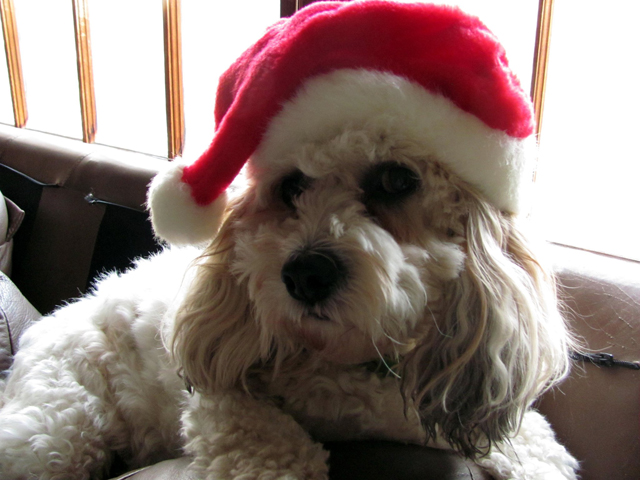 a cute dog with a santa hat